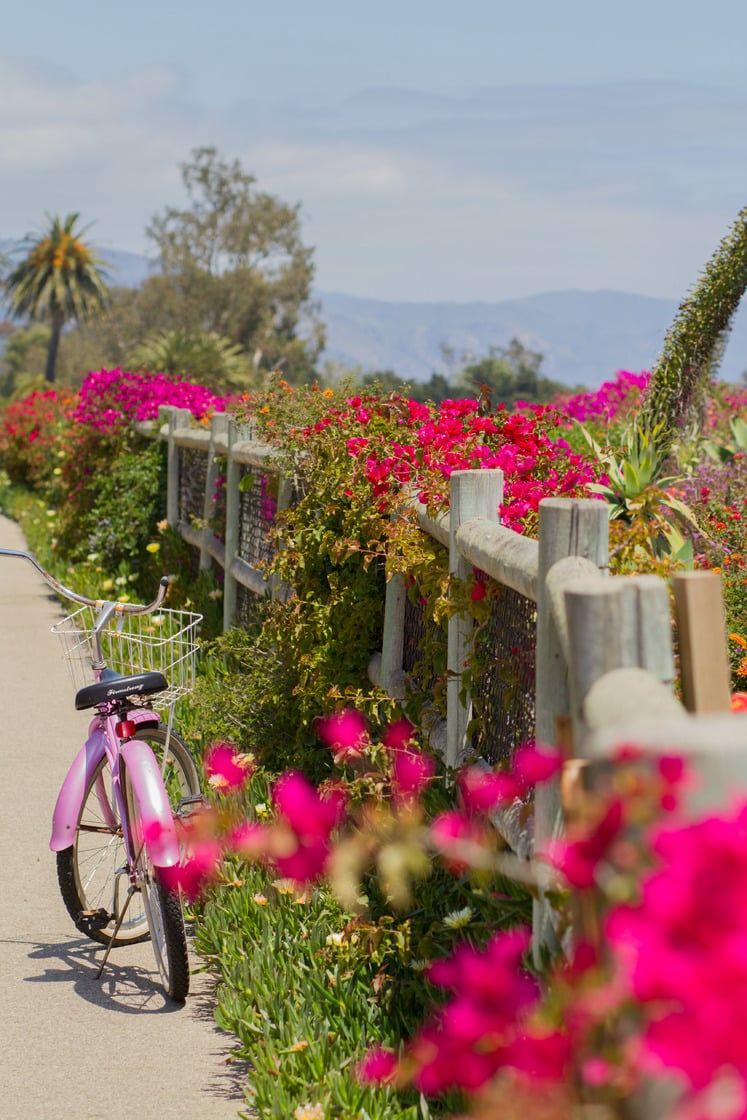 Pink bicycle parked alongside a row of stunning bright pink flowers and Santa Barbara mountains in the distance