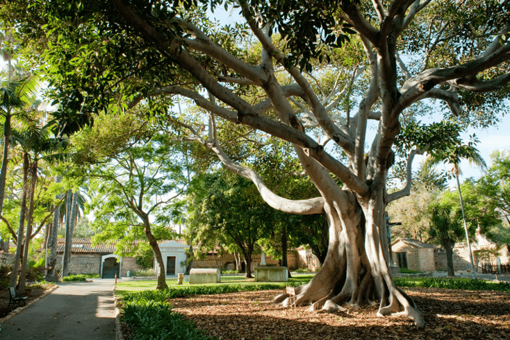 Old Mission grounds in Santa Barbara with giant old trees forming canopies over the property