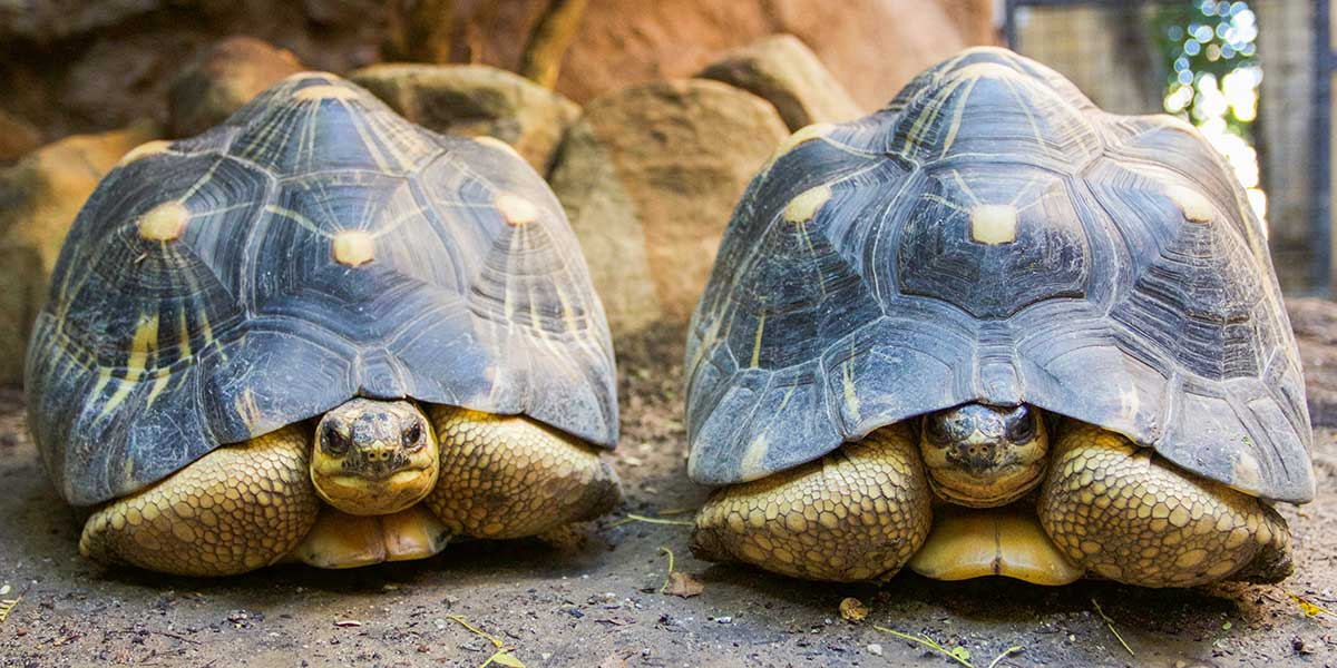 Two Yakko Wakko turtles at the Santa Barbara Zoo