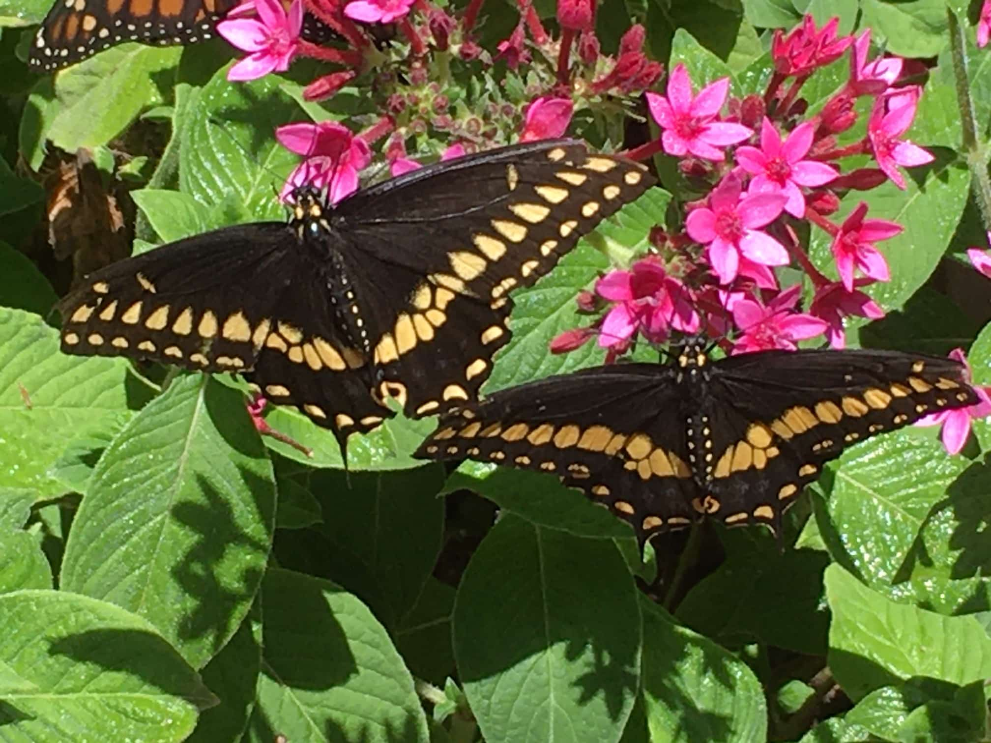 Black butterflies with a yellow strip on their bottom wings sit on green leaves with a pink flower.