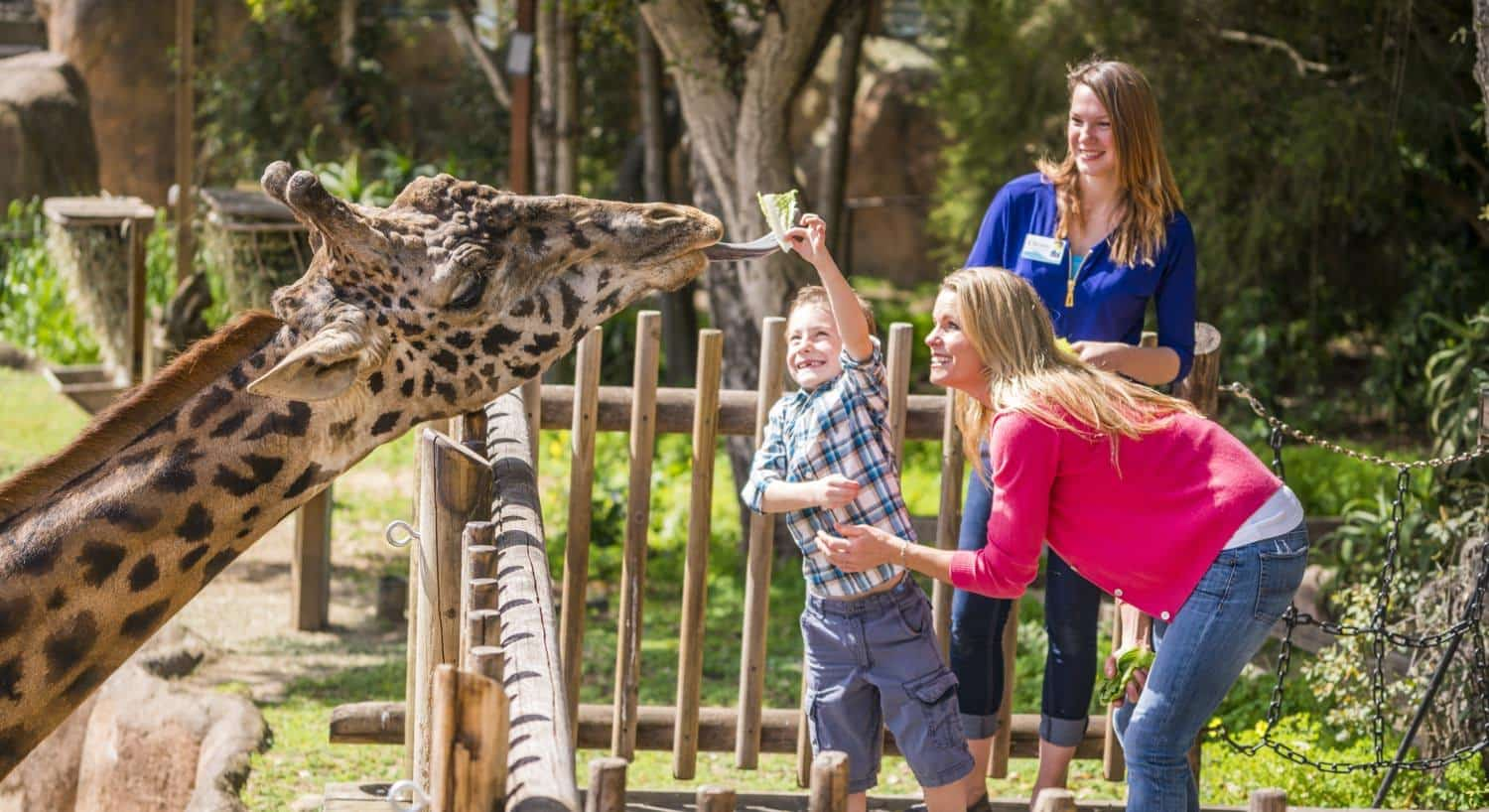 Mother, young son and zoo worker while son feeds giraffe