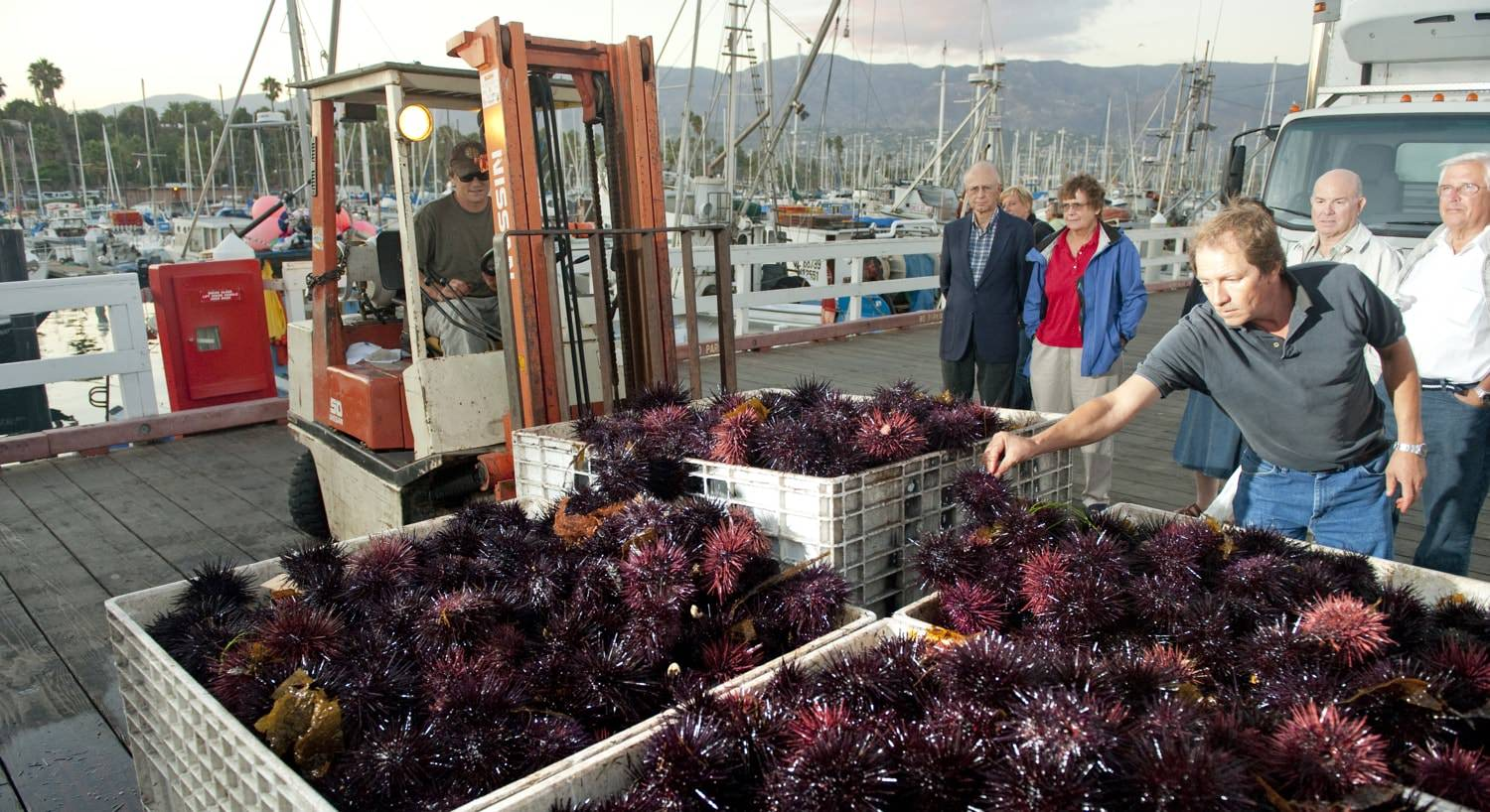 People watching men gather crates of fresh sea urchins