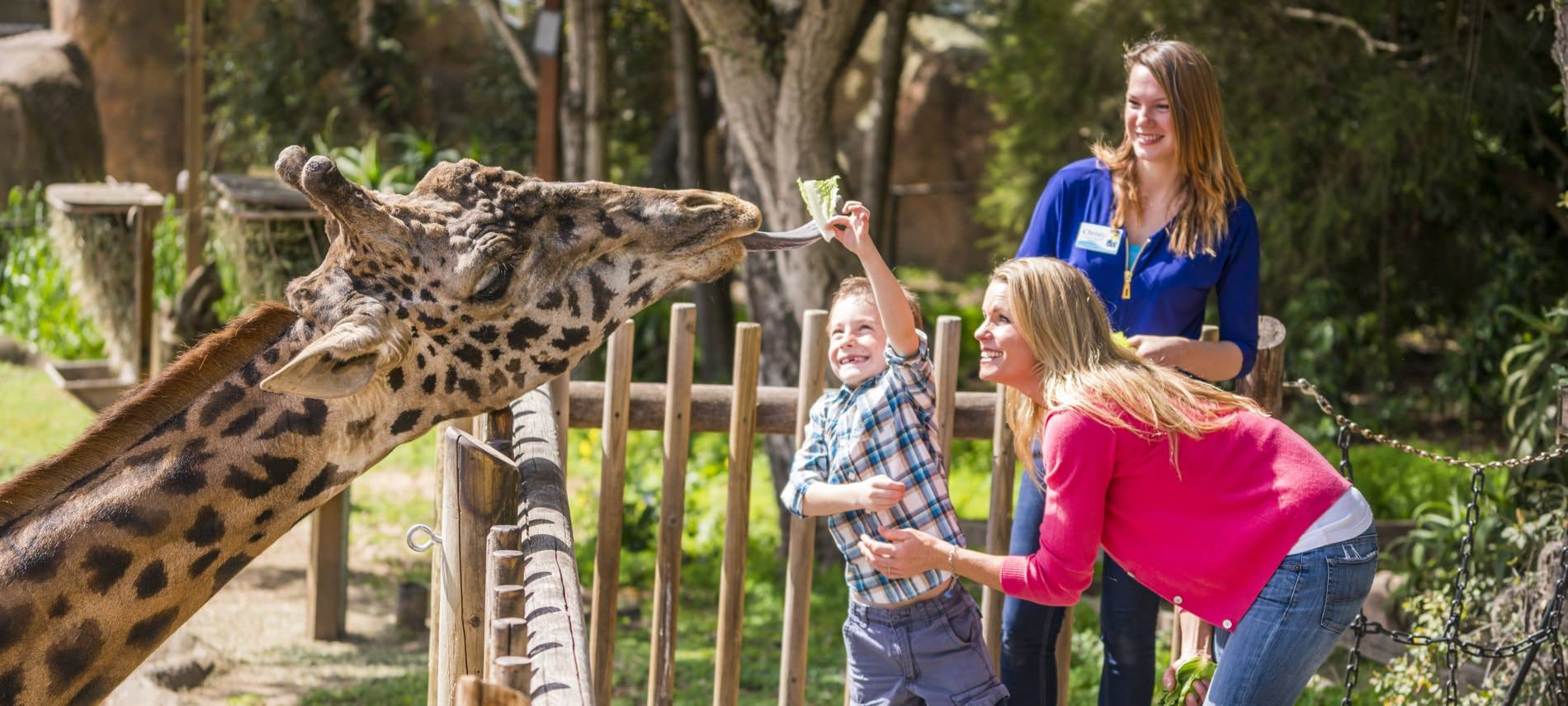 Mother and her young son with a zoo worker while son feeds a giraffe